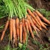 手指胡萝卜 宝宝辅食 400g 新鲜时令蔬菜