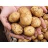 新鲜蔬菜马铃薯